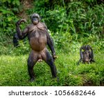 bonobo mother with a baby on a... | Shutterstock . vector #1056682646