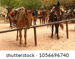Mules Waiting For Loading ...