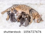 Stock photo mom mother cat and baby cat kitten 1056727676