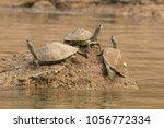 Softshell Turtle Sunbathing On...
