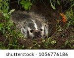 north american badger  taxidea... | Shutterstock . vector #1056776186