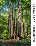 old big trees in the pfeiffer... | Shutterstock . vector #1056795659