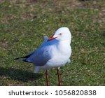 a dainty white  seagull seabird ... | Shutterstock . vector #1056820838