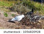 a dainty white  seagull seabird ... | Shutterstock . vector #1056820928