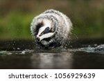 portrait of european badger ... | Shutterstock . vector #1056929639