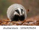 portrait of european badger ... | Shutterstock . vector #1056929654