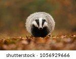 portrait of european badger ... | Shutterstock . vector #1056929666