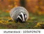 portrait of european badger ... | Shutterstock . vector #1056929678