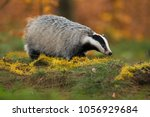 portrait of european badger ... | Shutterstock . vector #1056929684