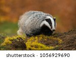 portrait of european badger ... | Shutterstock . vector #1056929690