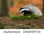 portrait of european badger ... | Shutterstock . vector #1056929714