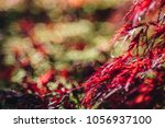 red maple leave fall in the... | Shutterstock . vector #1056937100