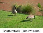 canada goose  branta canadensis  | Shutterstock . vector #1056941306