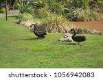 black swans  cygnus atratus  | Shutterstock . vector #1056942083