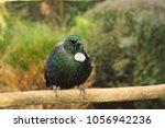 tui  prosthemadera... | Shutterstock . vector #1056942236