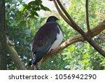 kereru   new zealand wood... | Shutterstock . vector #1056942290