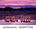 zebras drinking at waterhole... | Shutterstock . vector #1056977330