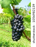 bunch of black grapes in vinery ... | Shutterstock . vector #1056982139