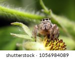 Jumping Spiders Live In A...