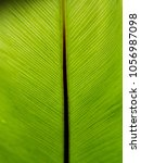 Small photo of Front frond (Adaxial surface) of Asplenium nidus or common names Bird's Nest Fern or short name Nest Fern shows its stipe, stem and green foliage