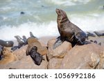 cape fur seals adults and...   Shutterstock . vector #1056992186