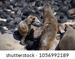 cape fur seals adults and...   Shutterstock . vector #1056992189