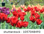 tulips in bloom in brooklyn | Shutterstock . vector #1057048493