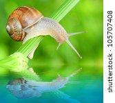 Edible Snail  Helix Pomatia ...