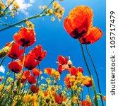 Corn Poppy Flowers Field ...