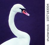 closeup of a graceful white... | Shutterstock . vector #1057183004