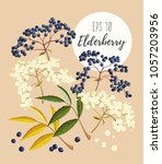set of elder flowers and berries | Shutterstock .eps vector #1057203956