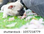 baby french bulldog puppy sleep ... | Shutterstock . vector #1057218779
