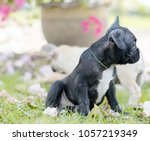 baby french bulldog puppy. dog... | Shutterstock . vector #1057219349