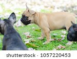 baby french bulldog puppy. dog... | Shutterstock . vector #1057220453