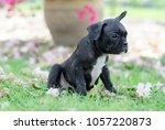 baby french bulldog puppy. dog... | Shutterstock . vector #1057220873