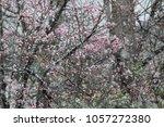 Peach Blossoms In Snow