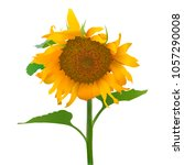 sunflower.realistic vector... | Shutterstock .eps vector #1057290008