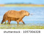 capybara  hydrochaeris...   Shutterstock . vector #1057306328