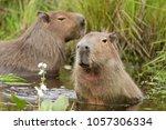 capybara  hydrochaeris...   Shutterstock . vector #1057306334