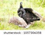 Black Vulture  Coragyps Atratus