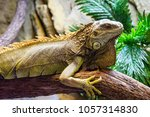 green iguana  iguana iguana  in ... | Shutterstock . vector #1057314830