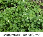 chickweed  stellaria media in... | Shutterstock . vector #1057318790