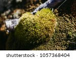 Green Fresh Thick Moss In The...