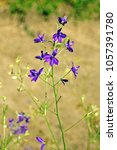 Small photo of Consolida regalis, with the common names forking larkspur, rocket-larkspur, and field larkspur, is an annual herbaceous plant