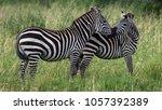 two zebras nuzzle  | Shutterstock . vector #1057392389