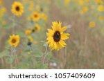 young sunflowers grow in summer ... | Shutterstock . vector #1057409609