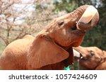 Stock photo baby elephant drinking milk from the bottle in the david sheldrick orphanage nairobi kenya 1057424609