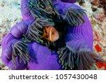 Small photo of Clownfish , anemonefish, hiding in giant fluorescent purple sea anemone, cnidaria gigantea