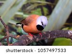 the long tailed finch  poephila ... | Shutterstock . vector #1057497533