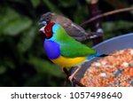 the gouldian finch  erythrura... | Shutterstock . vector #1057498640